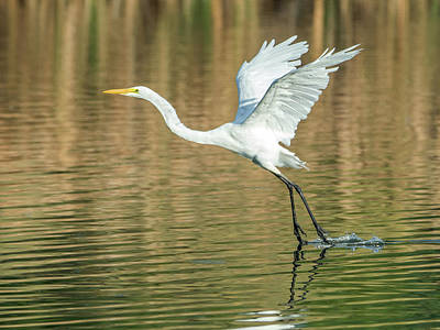 Photograph - Great Egret 4715-091017-1cr by Tam Ryan
