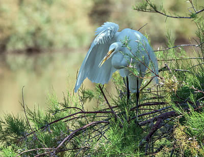 Photograph - Great Egret 4920-040518-1cr by Tam Ryan
