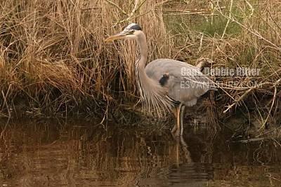 Photograph - Great Egret 6126 by Captain Debbie Ritter