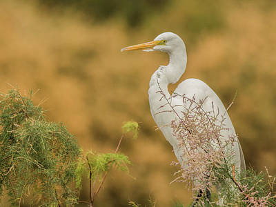 Photograph - Great Egret 6691-120117-1cr by Tam Ryan