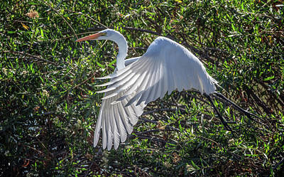 Photograph - Great Egret 9489-022218-1cr by Tam Ryan