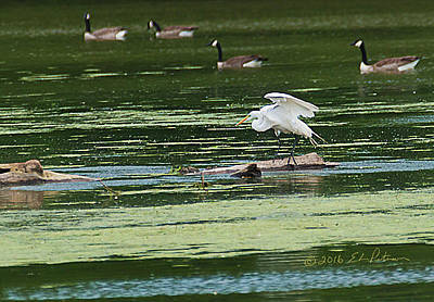Photograph - Great Egret And Canada Geese by Edward Peterson