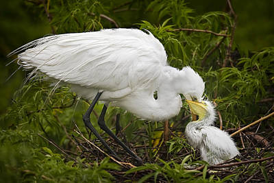 Hatching Photograph - Great Egret And Chick by Susan Candelario