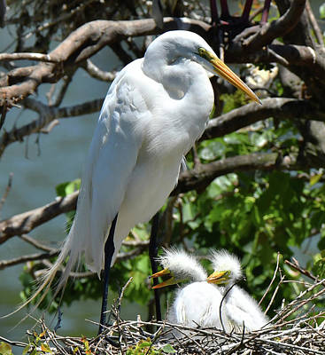 Photograph - Great Egret And Chicks by Alan Lenk