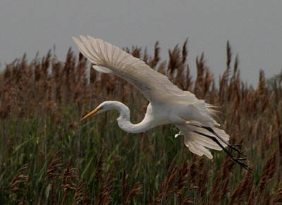 Photograph - Great Egret And Grass by Christopher Kirby