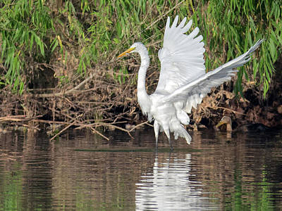 Photograph - Great Egret And Small Fish 0992-051518-1cr by Tam Ryan