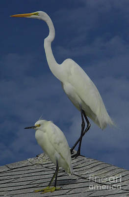 Great Egret And Snowy Egret Art Print by D Hackett
