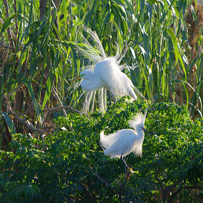 Photograph - Great Egret And Snowy Egret Sharing Trees by Roy Williams