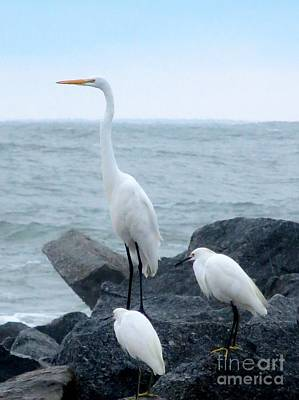 Photograph - Great Egret And Snowy Egrets by Tim Townsend