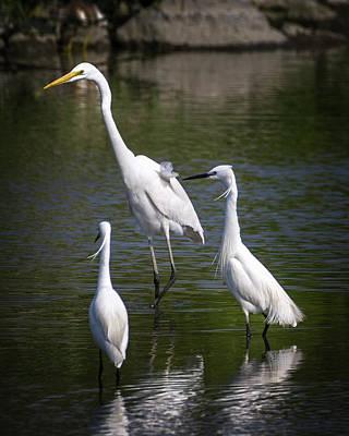 Photograph - Great Egret And Little Egrets Mai Po Hong Kong China by Adam Rainoff