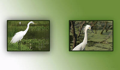 Photograph - Great Egret - Ardea Alba by Ericamaxine Price
