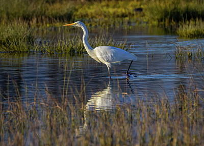 Great Egret, Ardea Alba, In A Pond Art Print