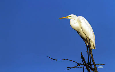 Photograph - Great Egret, Ardea Alba, On A Tree, Neuchatel, Switzerland by Elenarts - Elena Duvernay photo