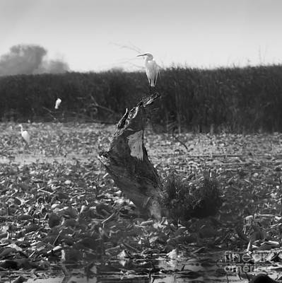 Photograph - Great Egret At Horicon Marsh  by Ricky L Jones