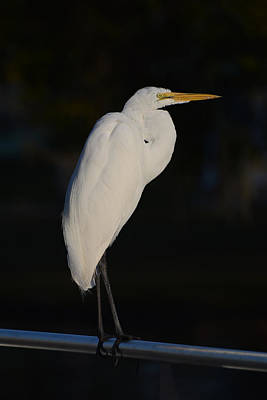 Egret Photograph - Great Egret At Night by Zina Stromberg