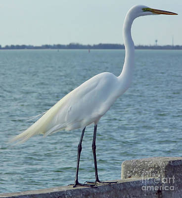 Great Egret At The Gulf Art Print by D Hackett