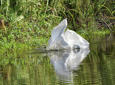 Photograph - Great Egret Attack by William Tasker