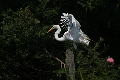 Photograph - Great Egret Beautiful Plumage by Christopher Kirby
