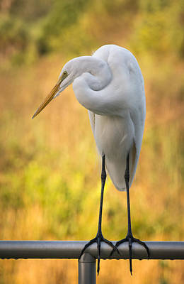 Photograph - Great Egret by Bill Martin