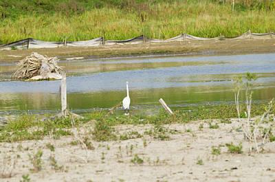 Mellow Yellow - Great Egret by Bob Corson