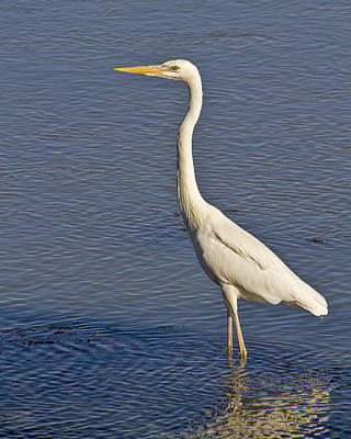 Bob Wade Photograph - Great Egret by Bob Slitzan