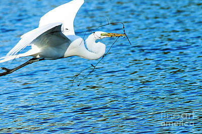 Photograph - Great Egret Building Nest  by Ben Graham