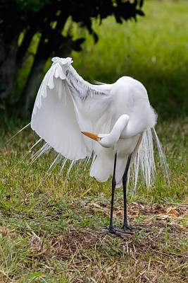 Photograph - Great Egret Checking Its Wings by Phil Stone