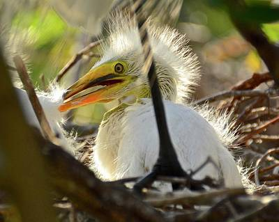 Photograph - Great Egret Chick by Carol Bradley