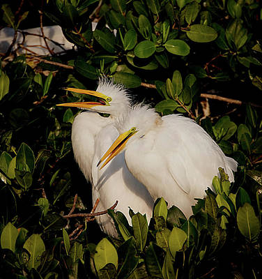 Photograph - Great Egret Chicks by Richard Goldman