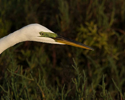 Photograph - Great Egret Close Up by Ernie Echols