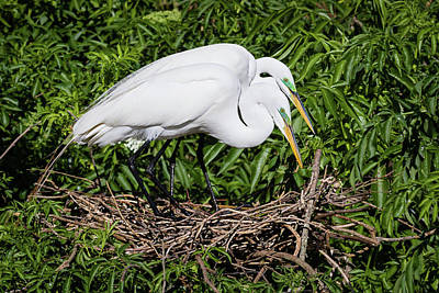 Photograph - Great Egret Couple by Dawn Currie