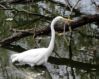 Photograph - Great Egret  by David Pickett
