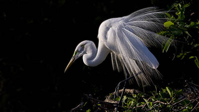 Photograph - Great Egret Display by Don Durfee