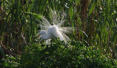 Great Egret Displays Windy Mating Plumage Art Print
