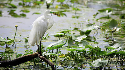 Photograph - Great Egret Enjoying The Sun by Brad Marzolf Photography