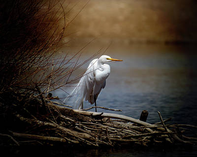 Photograph - Great Egret by Erica Kinsella