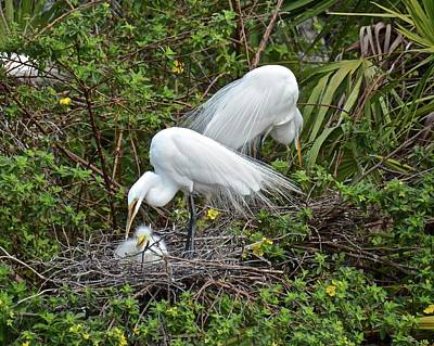 Photograph - Great Egret Family by Carol Bradley