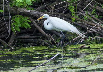 Photograph - Great Egret Feeding by Edward Peterson