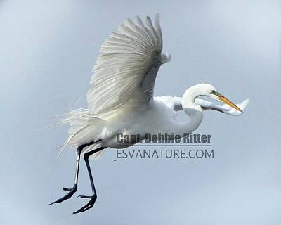 Photograph - Great Egret Flight by Captain Debbie Ritter
