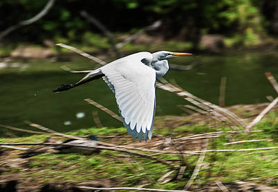 Photograph - Great Egret Flight by Edward Peterson