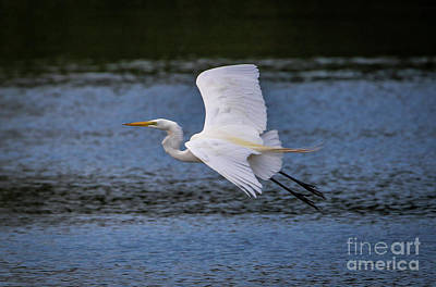 Photograph - Great Egret Flight by Tom Claud