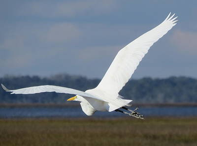 Photograph - Great Egret Flying by Ellen Meakin