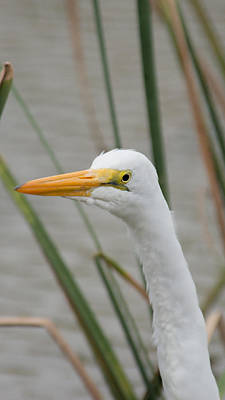 Photograph - Great Egret by Frank Madia