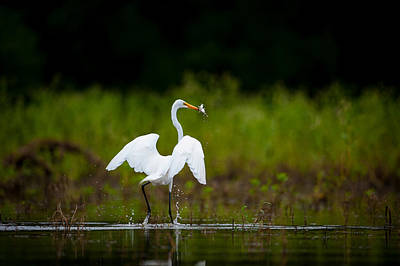 Photograph - Great Egret, Great Fisherman by Jeff Phillippi
