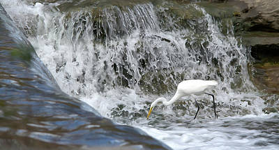 Uncle Sam Posters Rights Managed Images - Great Egret Hunting At Waterfall - DigitalArt Painting 1 Royalty-Free Image by Roy Williams