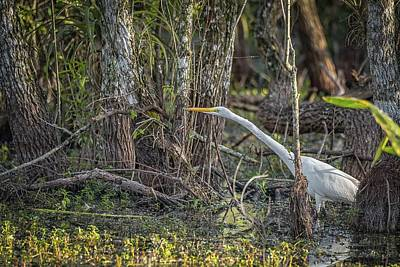 Photograph - Great Egret Hunting by Framing Places