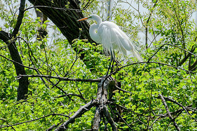 Photograph - Great Egret In Breeding Plumage by Edward Peterson
