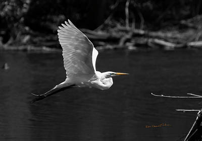 Photograph - Great Egret In Bw by Edward Peterson