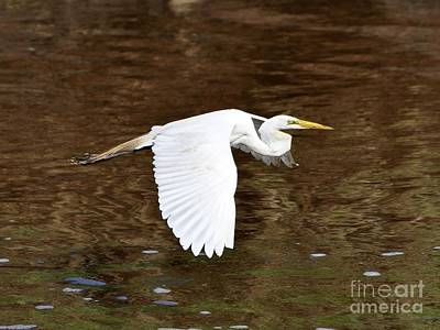 Great Egret In Flight Art Print by Al Powell Photography USA