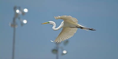 Photograph - Great Egret In Flight And Flood Lighting by Roy Williams